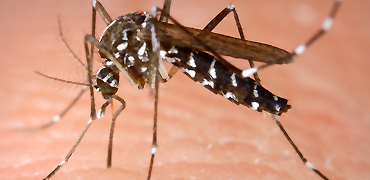 aedes-370-270